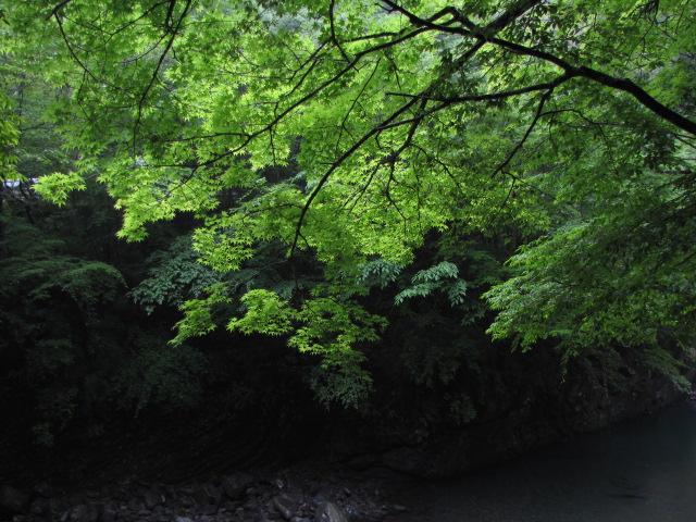 巨大杉だらけの天然林 マイナスイオン1000mg配合