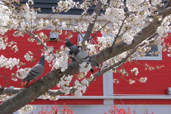 今年の桜はこんな感じでした